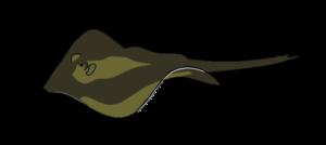 Illustration of a common stingray