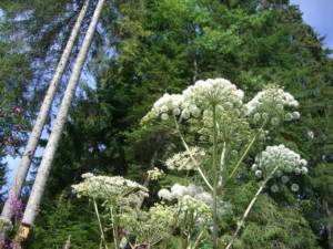 Giant Hogweed: Britain's most dangerous plant